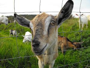 Bluebell Falls kid goat