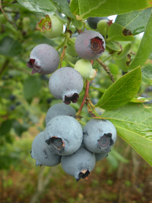 blueberries at Derryvilla Blueberry Farm