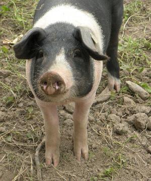 Old Farm piglet