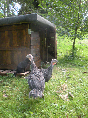 A pair of bronze turkeys