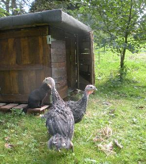 Bronze turkeys