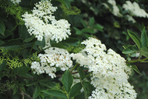 Bibliocook.com - elderflowers
