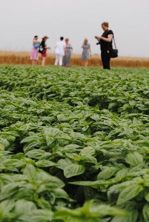 Sacla tour: Irish food bloggers and journalists at basil fields on Amateis farm, Alessandria