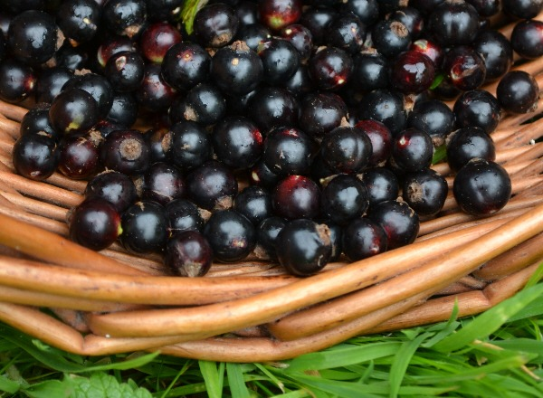 Blackcurrants for cassis